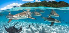 """""""Lagoon"""" by Greg Lecoeur (France), Wide-angle Category third place. """"French Polynesia is an amazing place for nature lovers. In the lagoon of Moorea I was snorkeling with an abundance of marine life, most notably these black tip sharks. Ocean Underwater, Underwater Photos, Ocean Art, Ocean Life, Under The Water, Under The Sea, Photos Sous-marines, Seahorse Image, Concours Photo"""