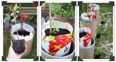 How to grow heirloom tomatoes part 2.