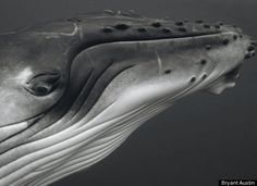 Bryant Austin's Stunning Whale Photography