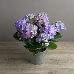 Large Hydrangea Living Plant Gift by The Flower Studio, the perfect gift for Explore more unique gifts in our curated marketplace. Hydrangea Potted, Blue Hydrangea, Potted Plants, Indoor Plants, Flower Studio, Pretty Box, 50th Birthday Gifts, Seasonal Flowers, Wedding Centerpieces