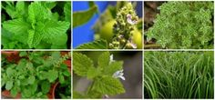 Mosquito Repelling Plants | 6 Plants To Protect You From Mosquitos