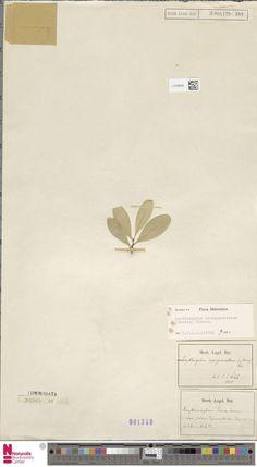L.2120948 | Erythroxylum novogranatense (Morris) Hieron.