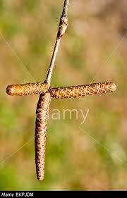 Image result for betulaceae betula papyrifera