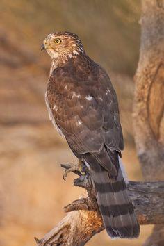 Cooper's Hawk (Accipiter cooperii) juvenile