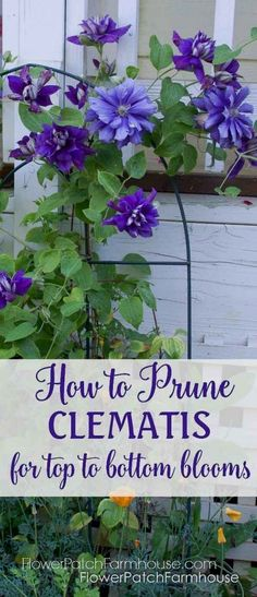 Need to renovate your Clematis, want more blooms! Here you go, prune clematis for top to bottom blooms. Easy and rewarding.  #GardeningIdeas