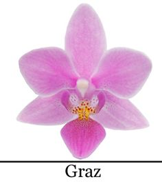 Phalaenopsis Graz God Of War, Cactus, Rose, Orchids, Floral, Flowers, Gift Wedding, Creative Ideas, Gifts