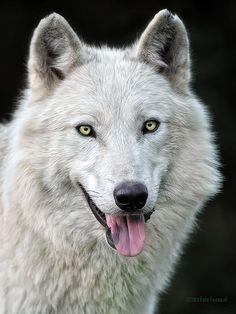 'Arctic wolf' by Foto Foosa