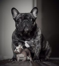 Matrix, il bello, such a handsome senior French Bulldog.