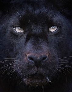 "incredible zoOm of black Panther's face ""Khan!"" by Sue Demetriou 2013-06 @5oopx 38623296"