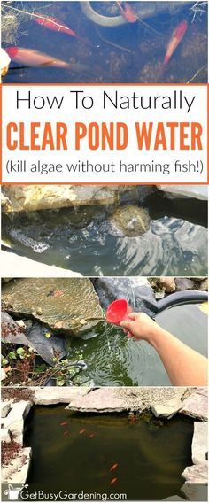 Pond algae is a common problem in backyard garden fish ponds. Try this easy and inexpensive natural solution to clearing pond water and kill algae (without harming fish!) #Ponds