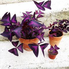 Oxalis Triangularis <3