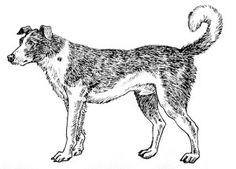 The Bandog Breed. The function of this fearsome breed was to guard the house against intruders.