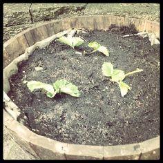 Aardbeien stekken in pot