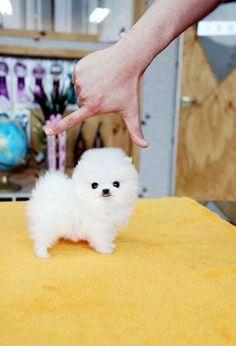 Teacup Pomeranian puppy! So adorable!