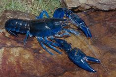 lobster - Google Search