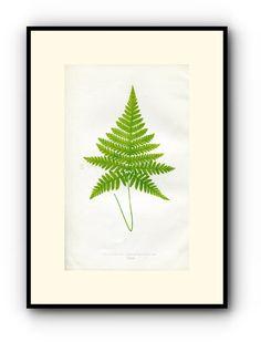 Edward Joseph Lowe Fern (Polypodium Haxagonopterum) Antique Botanical Print, 1856 1st edition. Wood Block Engraving, Book Plate by TheOldMapShop on Etsy
