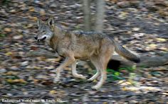 Wolves can run up to & can run hundreds of miles in a day♥ Day Before Yesterday, Dances With Wolves, Spirit Animal, Beautiful Creatures, Conservation, Kangaroo, Husky, Wildlife, Animals