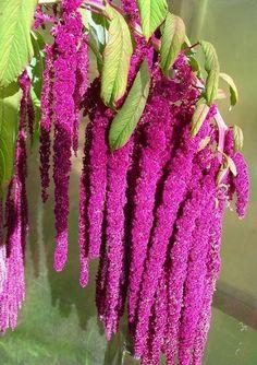 Amaranthus caudatus Flowers Garden Love ...♥♥