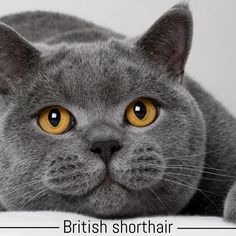 #britishshorthair is our breed of The week It traces its ancestry back to the cats of Rome and is one of the oldest breeds of English cats. Once a hunter and protector of the barns the British Shorthair now embraces family life preferring to nap in front of the warm cosy fire and to exchange hunting for playing with toy mice.  #meowformation #meow
