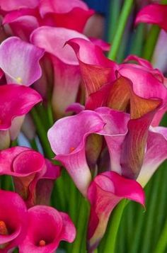 Calla Lillies by Eva