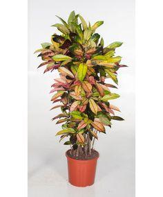Croton 'Mrs. Iceton'