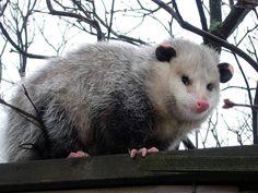 The Fat Possum of Prosperity :: Follow the Piper: POSSUMS!