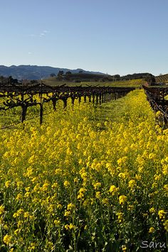 Signs of Spring, Napa, California by AnotherSaru