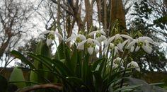 snowdrops, oakwell park…..
