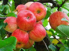 Appelplukdag eind september en waar zelf appels plukken