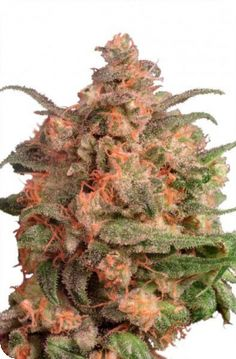 The genetics of the strain Brainstorm by Dutch Passion were introduced by the company in 1996 and the strain was then updated again in 2006. This update involved the talented breeders scouring the original stock of seeds and selecting a clone which simply stood out from the others  http://www.cannabis-seeds-store.co.uk/feminised-seeds/dutch-passion/brainstorm-feminised-seeds/prod_190.html