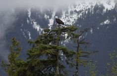 Haines, #Alaska is home to the world's largest population of bald eagles!