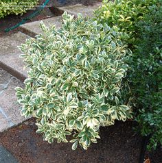 This is the variegated form of the red twig dogwood bush Garden Shrubs, Flowering Shrubs, Landscaping Plants, Trees And Shrubs, Shade Garden, Front Yard Landscaping, Lawn And Garden, Garden Plants, Gardens