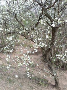 El pinyoroner ja ha florit, aviat fara pinyorons #pagesos #primavera