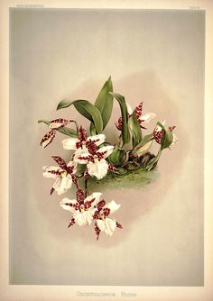 Frederick Sander - Reichenbachia - Wikimedia Commons