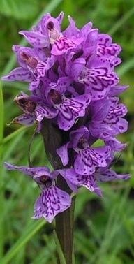 Dactylorhiza orchids