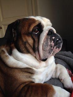 Pin On Bulldog Love Life