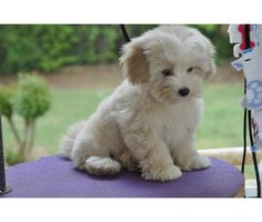 Coton de tulear... this is the puppy that I want!
