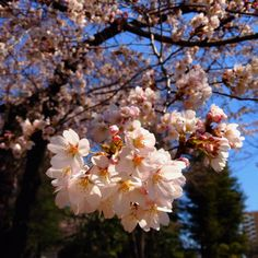 In Tokyo, the cherry blossoms are starting to bloom.