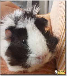 Oreo the Guinea Pig, the Pet of the Day