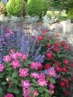 knockout roses and catmint: good combo