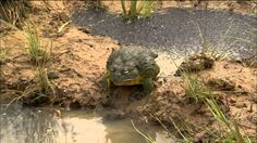 This Devoted African Bullfrog Dad Does The Sweetest Thing To Protect His Little Tadpoles.