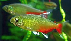 The Green Fire Tetra (Aphyocharax rathbuni) is found in the Paraguay river basin and known to tropical fish keeping enthusiasts as the Redflank Bloodfin. Big Aquarium, Tropical Fish Aquarium, Tropical Fish Tanks, Aquarium Fish Tank, Tetra Fish, Discus Fish, Aquarium Accessories, Green Fire, Rainbow Fish