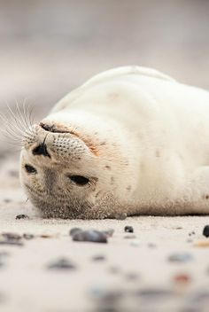True Seal.