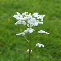 Cardamine trifolia  / L