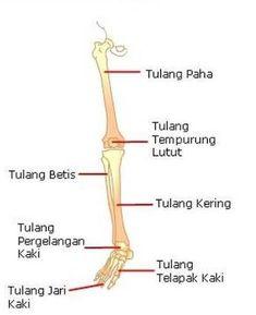 Tulang Tempurung : tulang, tempurung, Biologi,, Tubuh, Manusia,, Tulang