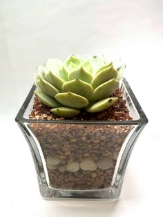 Succulent Plant in Glass Vase with Decorative Fill