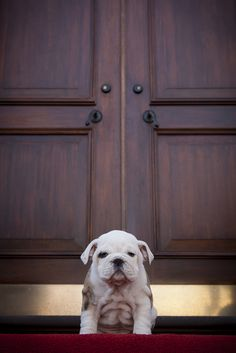 Marines newest recruit, Chesty! I can't handle all those wrinkles!!