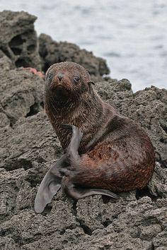 Galapagos Fur Seal(Arctocephalus Galapagos)