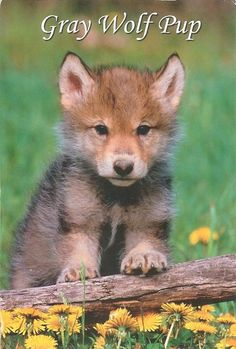 Baby Wolves, Red Wolves, Wolf Photography, Wildlife Photography, Cute Baby Animals, Animals And Pets, Wolf Life, Wolf Pup, Timber Wolf