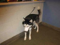 #Founddog 6-23-14 #Jacksonville #FL #SiberianHusky ID# A822086 Black & White 4 year old male LOST AND FOUND PETS NE FLORIDA https://m.facebook.com/story.php?story_fbid=639604126129743&id=128776117212549